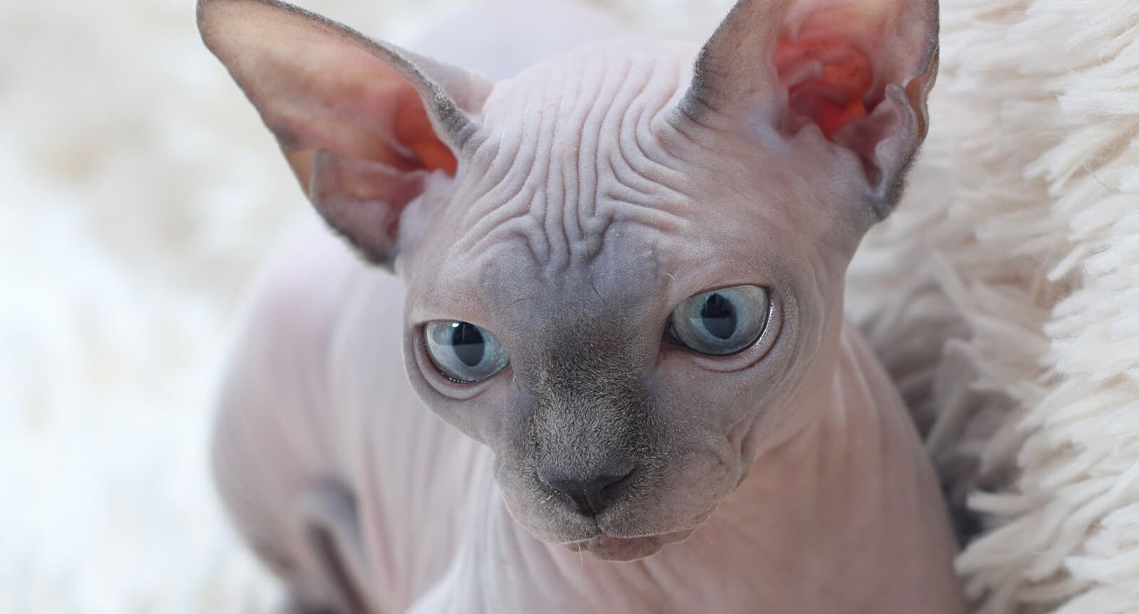Wrinkly Sphynx Cat